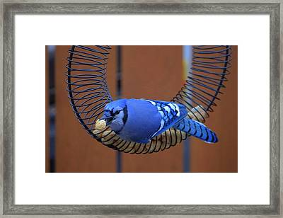 Blue Jay At The Feeder Framed Print by Larry Trupp