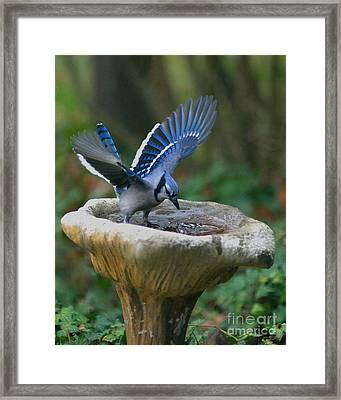 Blue Jay Bath Framed Print by Jane Axman