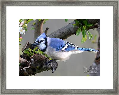 Blue Jay Beauty Framed Print