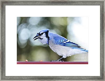 Blue Jay Bird Framed Print by Elena Elisseeva