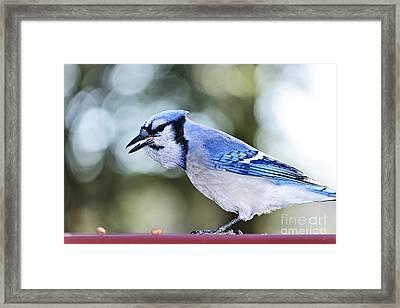 Blue Jay Bird Framed Print