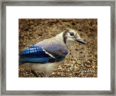 Blue Jay Bird Framed Print by Zina Stromberg