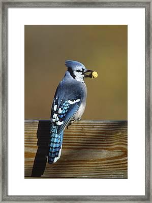 Blue Jay Carrying Peanut Long Island Framed Print