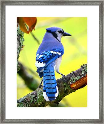 Blue Jay Framed Print by Deena Stoddard