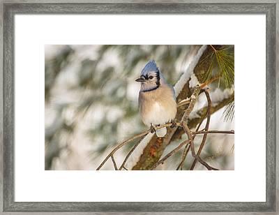 Blue Jay Framed Print by Everet Regal