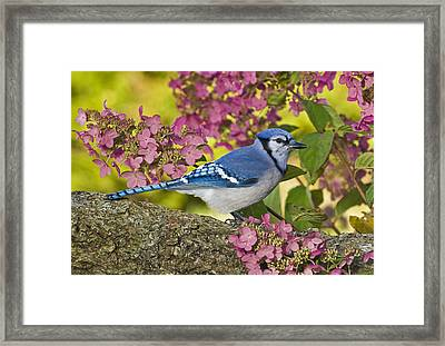 Blue Jay In Backyard Garden In Autumn Framed Print