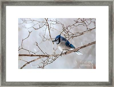 Blue Jay In Blowing Snow Framed Print by Debbie Green