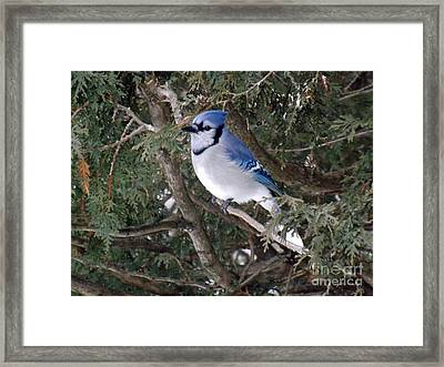 Framed Print featuring the photograph Blue Jay In The Cedars by Brenda Brown