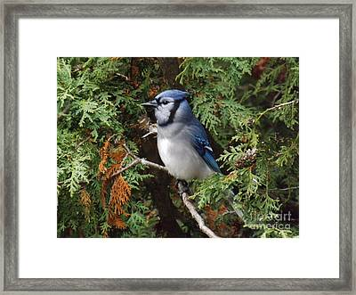 Framed Print featuring the photograph Blue Jay In Cedar Tree 2 by Brenda Brown
