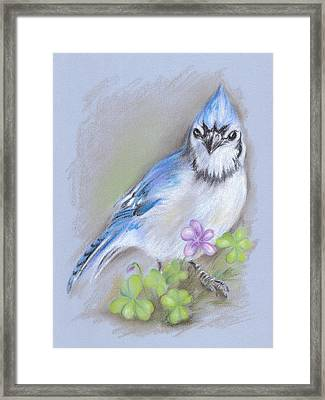Blue Jay In Spring With Oxalis Framed Print
