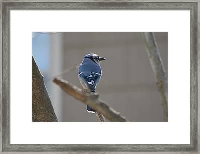 Blue Jay Framed Print by James Petersen