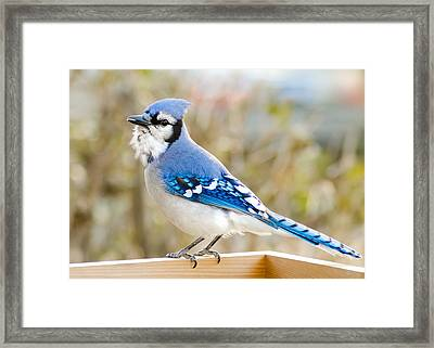 Blue Jay Framed Print by Jim Hughes