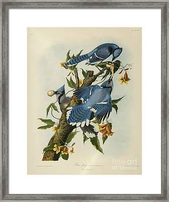 Blue Jay Framed Print by Celestial Images