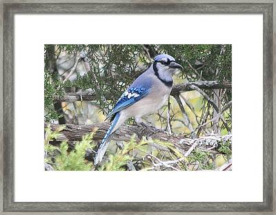 Blue Jay Framed Print by Kathy Peltomaa Lewis
