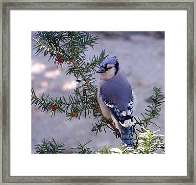 Blue Jay - Morning Visitor  Framed Print