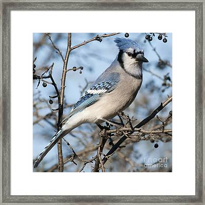 Blue Jay.. Framed Print