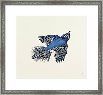 Blue Jay Nineteenth Century Engraving Framed Print