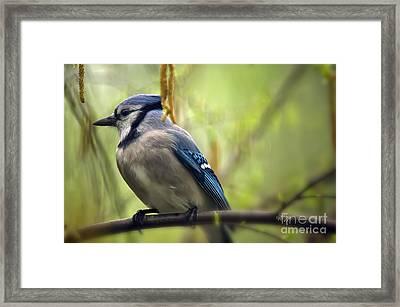 Blue Jay On A Misty Spring Day Framed Print