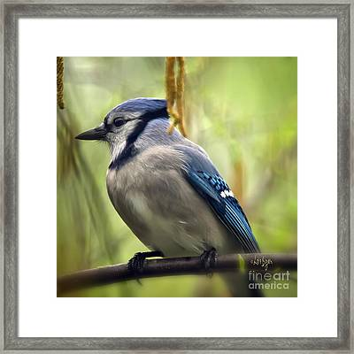 Blue Jay On A Misty Spring Day - Square Format Framed Print by Lois Bryan