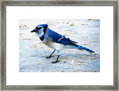 Blue Jay On The Beach Framed Print by Shawna Rowe