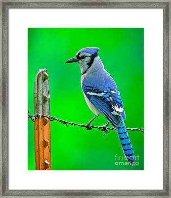 Blue Jay On The Fence Framed Print by Robert Frederick