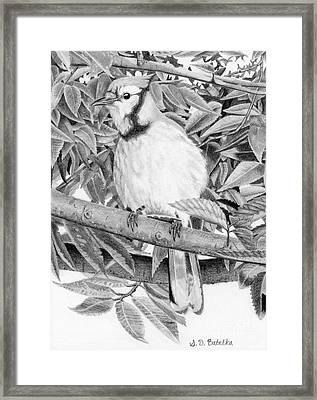 Blue Jay Framed Print by Sarah Batalka