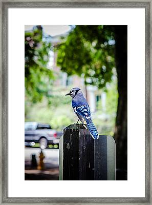 Framed Print featuring the photograph Blue Jay by Sennie Pierson