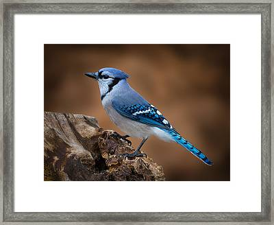 Framed Print featuring the photograph Blue Jay by Steve Zimic