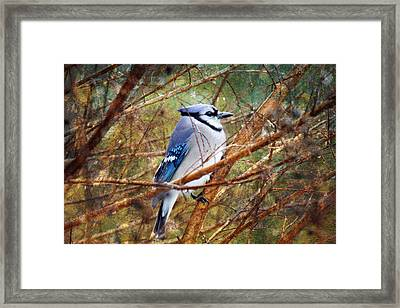 Framed Print featuring the photograph Blue Jay by Trina  Ansel