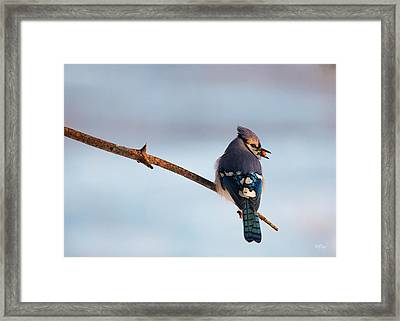 Blue Jay With Nuts Framed Print