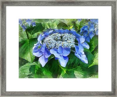 Blue Lace Cap Hydrangea Let's Dance Starlight Framed Print by Susan Savad