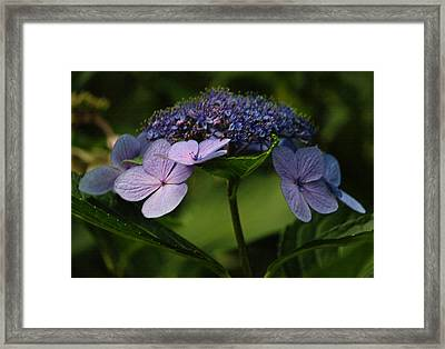 Blue Lacecap Hydrangea Framed Print by Suzanne Gaff
