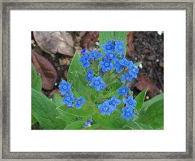 Blue Lambs Ear Framed Print by Belinda Lee
