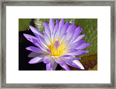 Blue Lily Framed Print by Katherine White