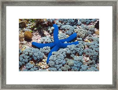 Blue Linckia Starfish Framed Print by Science Photo Library
