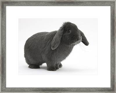 Blue Lop Rabbit Framed Print by Mark Taylor
