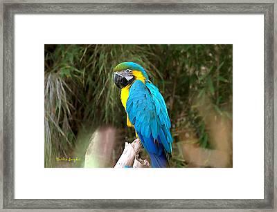 Blue Macaw Framed Print by Barbara Snyder