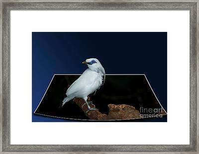 Blue Mask Bandit Bird Framed Print by Thomas Woolworth