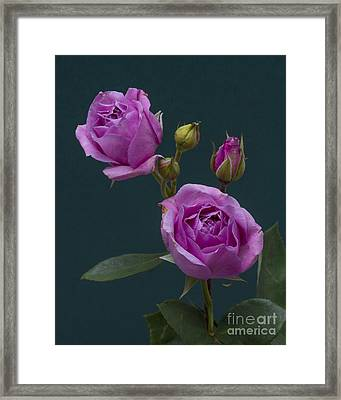 Framed Print featuring the photograph Blue Moon Roses by ELDavis Photography