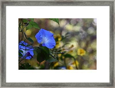 Blue Morning Glories Framed Print by Linda Unger