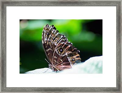 Blue Morph Butterfly Framed Print by Cheryl Cencich