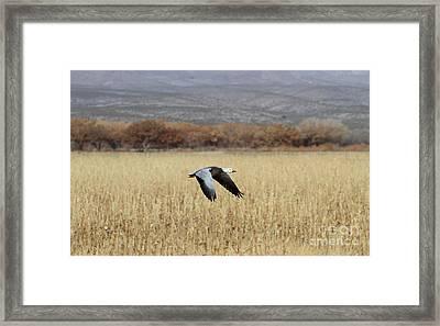 Blue Morph In Flight Framed Print by Ruth Jolly