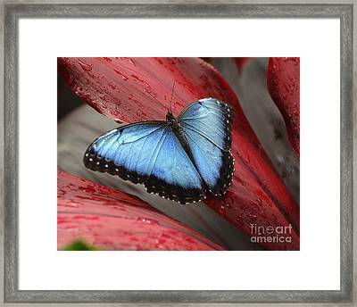 Blue Morpho 2 Framed Print by Diane E Berry