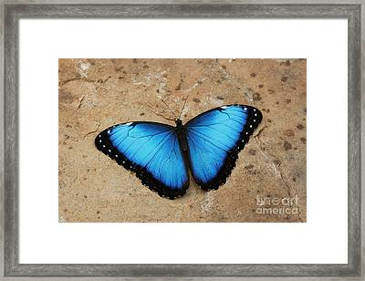 Blue Morpho #2 Framed Print