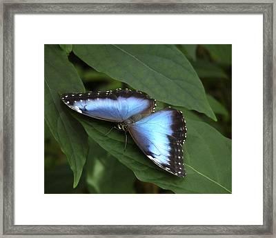 Blue Morpho Butterfly I. Framed Print