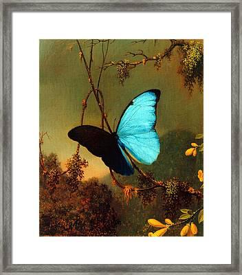 Blue Morpho Butterfly Framed Print