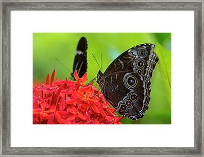 Blue Morpho Butterfly (morpho Peleides Framed Print by Chuck Haney