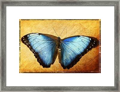 Blue Morpho Butterfly  Framed Print by Saija  Lehtonen