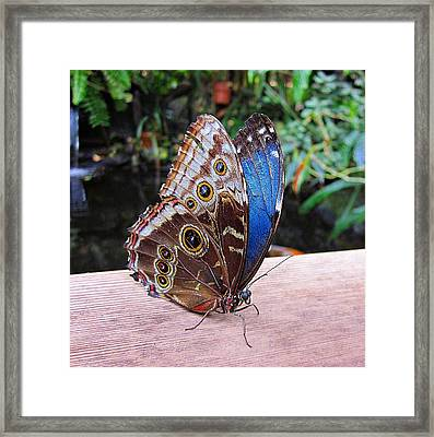 Blue Morpho Framed Print by MTBobbins Photography