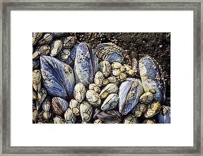 Blue Mussels Framed Print by Kelley King